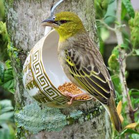 birds weaver by Geraldine Angove - Animals Birds