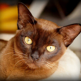 George by Caroline Beaumont - Animals - Cats Portraits ( pedigree cat, yellow eyes, brown kitten, brown burmese cat, brown cat )
