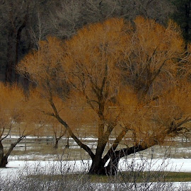 PEACE by Cynthia Dodd - Novices Only Landscapes ( winter, nature, tree, colorful, outdoors, snow, trees, landscape )