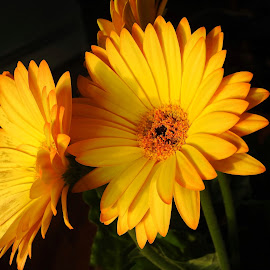 Yellow At Night by Patricia Phillips - Flowers Flower Arangements ( flowers yellow daisies )