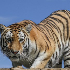 by Garry Chisholm - Animals Lions, Tigers & Big Cats