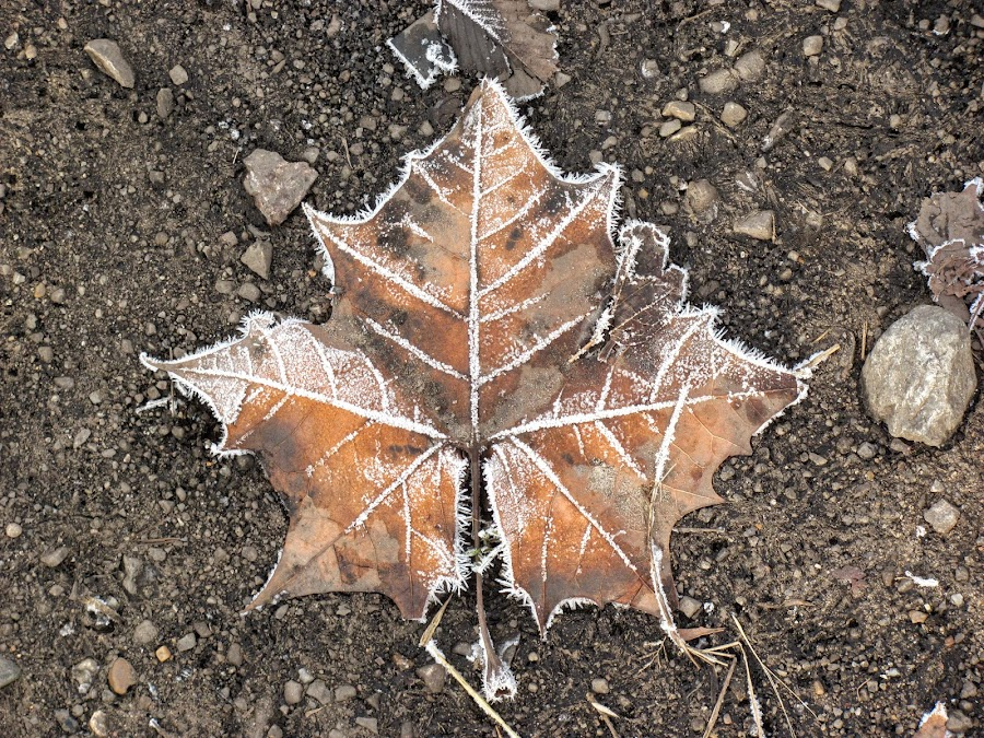 Frosted Leaf by Rick Covert - Nature Up Close Leaves & Grasses ( winter, cold, frost, leaf, arkansas )