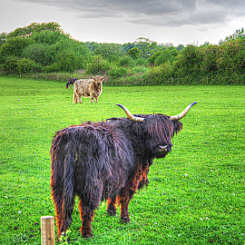 A Highlander~ by Karen McKenzie McAdoo - Animals Other