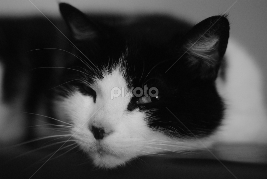 by Clancy Reoopc Llebpmac - Animals - Cats Portraits