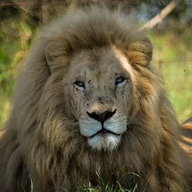 Lion by Hannes van Rooyen - Animals Lions, Tigers & Big Cats ( lion, mane, male, adult, eyes )