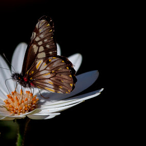 Daisy, and butterfly by Cristobal Garciaferro Rubio - Animals Insects & Spiders ( butterfly, daisy, flowers, white daisy, flower )