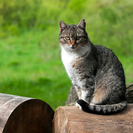 Cat from Slatinka, Slovakia by Miro Trimay - Animals - Cats Portraits ( nature, cat, animal )