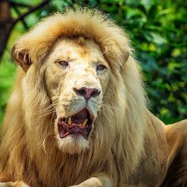 by Bernard Tjandra - Animals Lions, Tigers & Big Cats