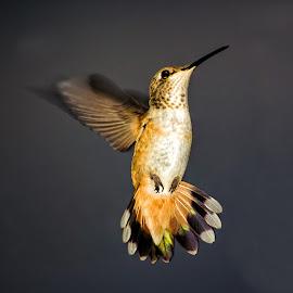searching by Carole Ferruccio - Animals Birds ( bird, orange, still, tail, hummer )
