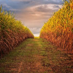 sugar cane at sunset.jpg