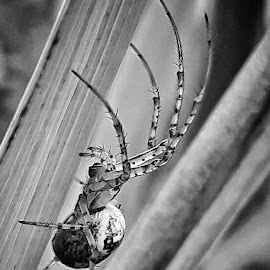 Spider bw by Billy Kennedy - Instagram & Mobile Android ( black and white, web, spider, animal )