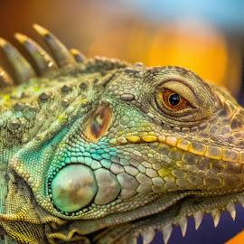 the exotic blue iguana by Glenn WS - Animals Reptiles ( #blue, #iguanas, #reptile, #closeup, #macro, #iguana, #reptiles )