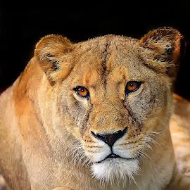 La chef de bande by Gérard CHATENET - Animals Lions, Tigers & Big Cats