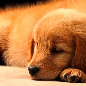 golden Puppie by Cristobal Garciaferro Rubio - Animals - Dogs Puppies ( puppie, dog, pretty, golden, golden retriever )
