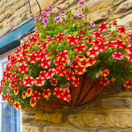 by Victoria Eversole - Flowers Flower Gardens ( hanging basket of flowers, village life, colors, english midlands )