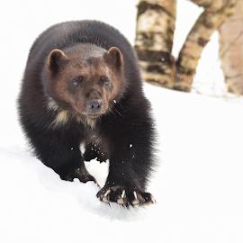 Wolverine out hunting by Kristin Smestad - Animals Other Mammals ( wolverine, rovdyr, mårdyr, jerv, gulo gulo )