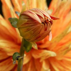 Dahlia 9423 by Raphael RaCcoon - Flowers Flower Gardens ( dahlia )