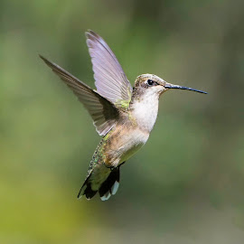 Hummingbird  by Nick Garrett - Novices Only Wildlife ( bird, fly, wings, hummingbird, humming bird )