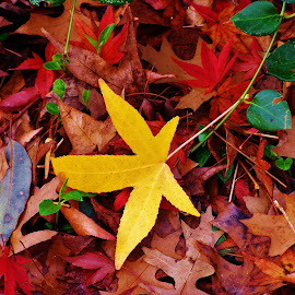Yellow Leaf by Sarah Harding - Novices Only Flowers & Plants ( colour, nature, autumn, novices only, leaves )