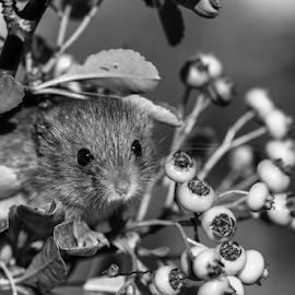 mouse by Garry Chisholm - Black & White Animals ( mouse, macro, nature, mammal, rodent, mice, garry chisholm )