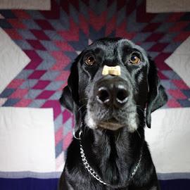 Pepper Balancing Treat by Megan Donovan - Animals - Dogs Portraits
