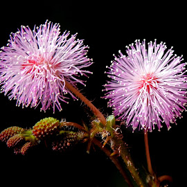 Mimosa  by Asif Bora - Flowers Flowers in the Wild (  )