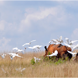 Egret taxi by Johann Perie - Animals Other ( rhino, egret )