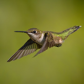 Pointing In The Right Direction by Roy Walter - Animals Birds ( animals, hummingbird, wildlife, birds, rubythroated )