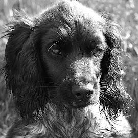 B&W in B&W by Chrissie Barrow - Black & White Animals ( monochrome, black and white, cocker spaniel, pet, fur, puppy, dog, mono, portrait, animal )