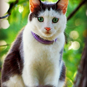 Dusty's Perch by Teresa Delcambre - Animals - Cats Portraits ( sit, cat, tree, glare )