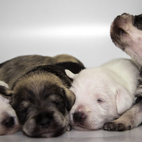 Young family by Joseph Belcher - Animals - Dogs Puppies ( canine, new, schnauzer, litter, fur, puppy )