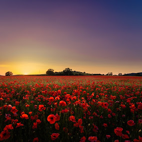 Poppies at Dusk by Peter Rollings - Flowers Flowers in the Wild ( red, flowers, field, sunset, poppies, landscape, colours,  )