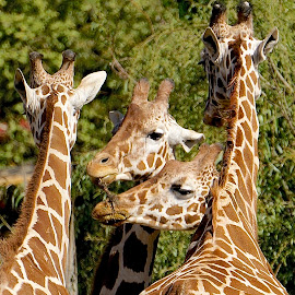 Group Fun by Barbara Brock - Animals Other ( tall animals, four of a kind, large mammals, giraffes )