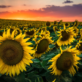 end off... by Lupu Radu - Landscapes Sunsets & Sunrises ( black sea, dobrogea, sunset, sunflower, flower, sun, tuzla,  )