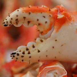The Claw by Dave Feldkamp - Animals Sea Creatures ( crab claw, orange claw, claw, crabs, crab )