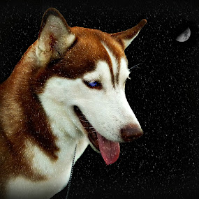 Snow Dog. by Ian Gledhill - Animals - Dogs Portraits ( moon, pets, snow, husky, night, portraits, dog, eyes, , pwc84, Dogs, Cats, Pets, Rabbits, Animals, pet, livestock, cows )