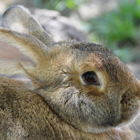 Flemish Giant Rabbit by Benny Lopez - Animals Other Mammals ( oryctolagus cuniculuc domestic flemish giant,  )