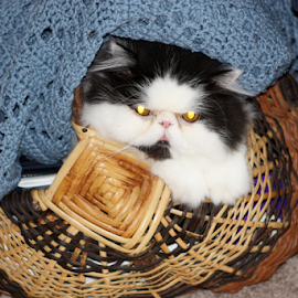 Pyewacket hiding from the storm by Christine Meeske - Animals - Cats Portraits ( basket, cat, blanket, scared, persian )