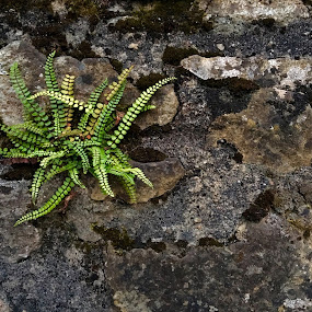 Fern in rock wall by Suzanne Black - Nature Up Close Other plants (  )