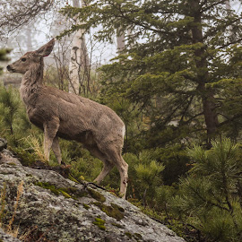 Deer by Lacey Trigg - Animals Other ( animals, south dakota, black hills national forest, deer )