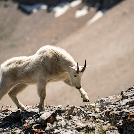 Mountain Goat flexing his muscles by Kerry Bishop - Animals Other Mammals