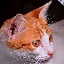 Cat by Hans Dihan - Animals - Cats Portraits ( cool, benign, cat, eyed, eye )