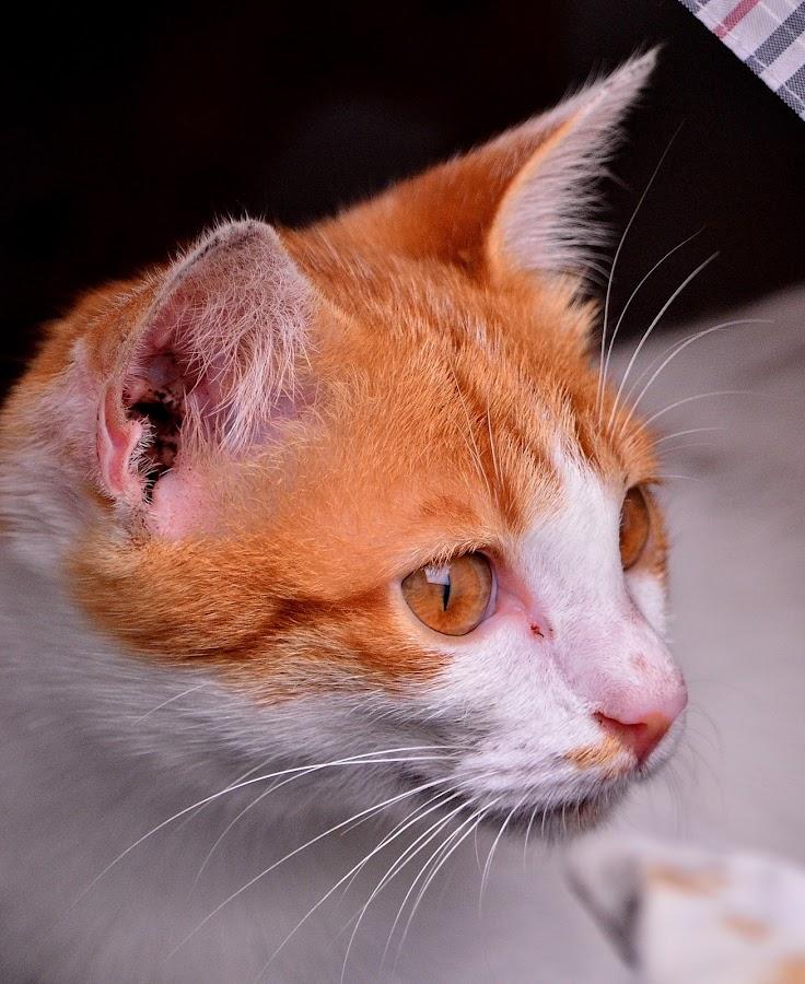 Cat by Hans Dihan - Animals - Cats Portraits ( cool, benign, cat, eyed, eye,  )