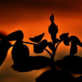 Rose Bud - A Silhouette Click. by Vinod Rajan - Flowers Flower Buds ( bud, red, sunrise, sunset, silhouette, dark, rose, darkness, flower,  )