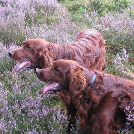 by Kenny McLeod - Animals - Dogs Portraits ( dogs, irish setter, setter, dog portrait, tongues, dog )