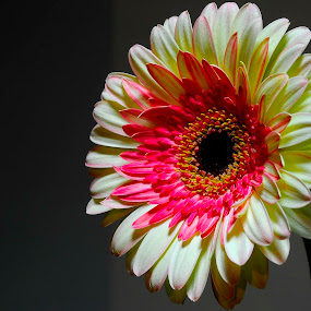 gerbera by Carmelo Parisi - Nature Up Close Flowers - 2011-2013