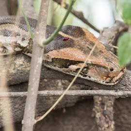 Siesta Time by Avanish Dureha - Animals Reptiles ( dureha@gmail.com, bharatpur, incredible india, inthe wild, avanish dureha, lizards, snakes )