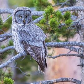 Owlie by Richard Duerksen - Animals Birds ( coloado, autumn, evening., owl, grey own )