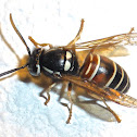 Northern Red-banded Yellowjacket