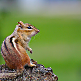 chipmunk by David Pratt - Animals Other Mammals ( mammals, animals, chipmunk, candid, nature close up )